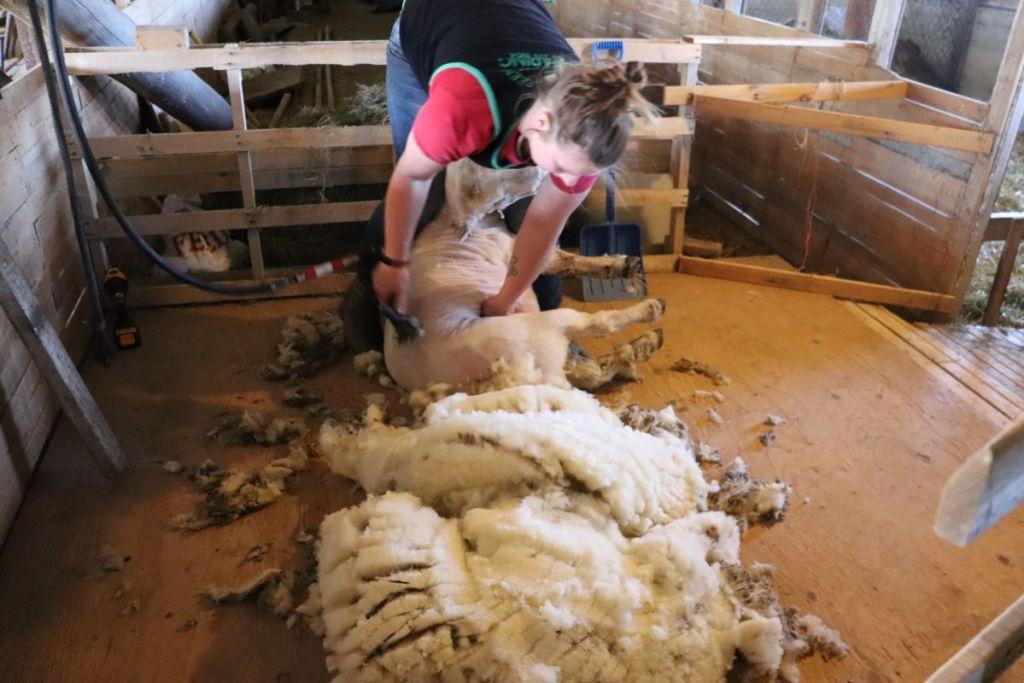 Shearing a Southdown Babydoll Sheep