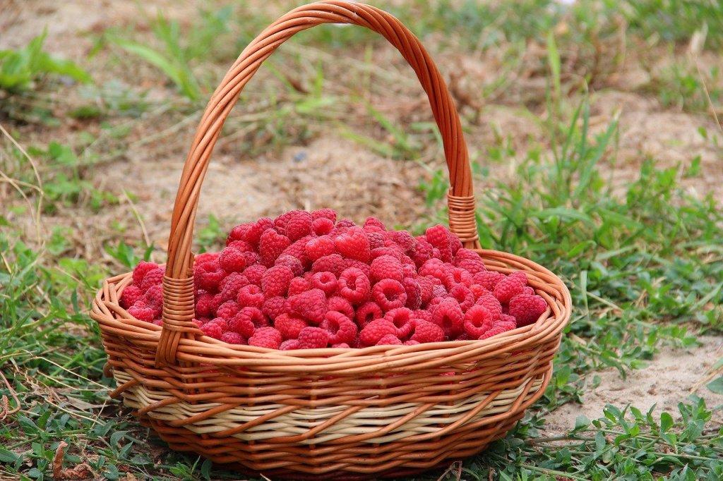 A basket of red raspberries