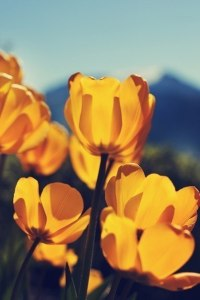 yellow-tulips01