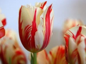 peppermint tulips light blue sky