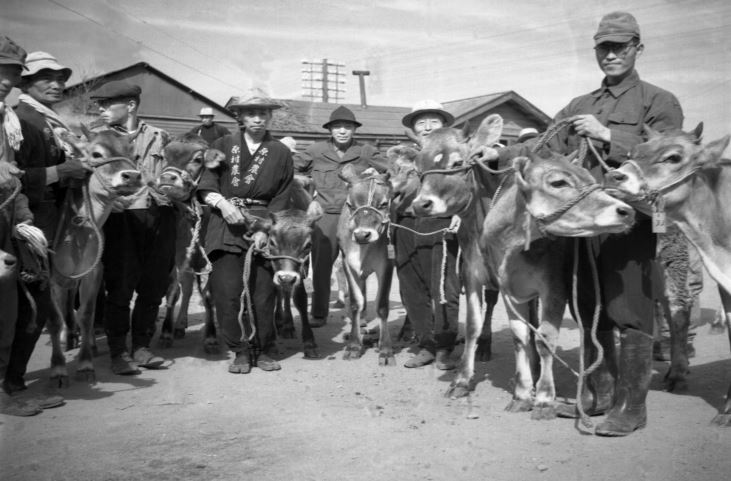 Jersey cows arrive to Japan from New Zealand 1953_Mainichi Photo Gallery