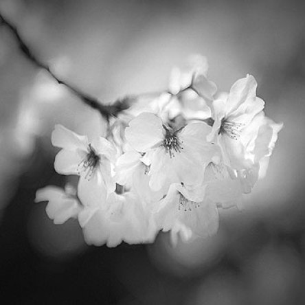 Cherry Blossom_Hengki Koentjoro