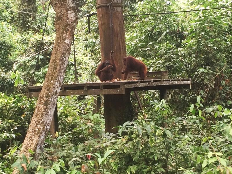 Orangutan's feeding