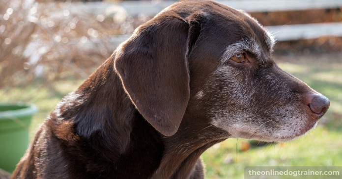 5 Benefits CBD Oil May Provide to Senior Dogs BLOG IMAGES 4