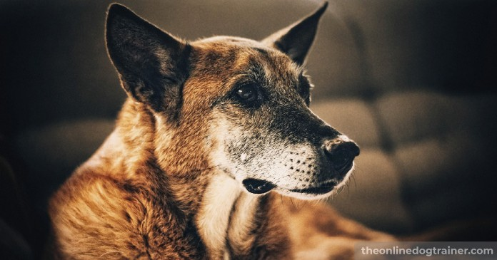 5 Benefits CBD Oil May Provide to Senior Dogs BLOG IMAGES 6