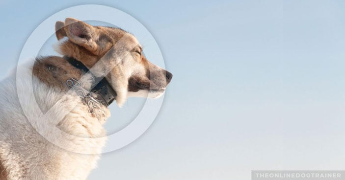Why-Dog-Shock-Collars-Are-a-Totally-Unnecessary-and-Destructive-Training-Tool-FEATURE-IMAGE