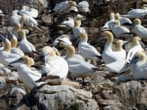 Gannets in breeding colony