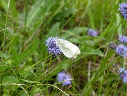 Small white butterfly on devilsbit scabious