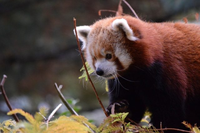 red-panda-in-the-zoo