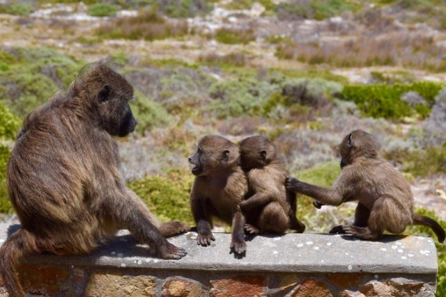 baboon-family