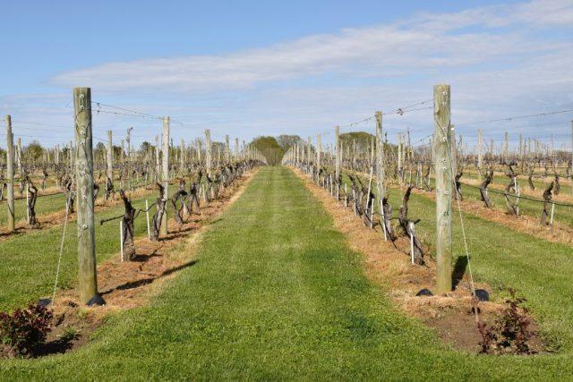 Wolffer-estate-vineyard