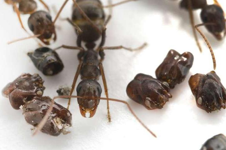 Florida-ant-species-collects-skulls-uses-chemical-weapons-to-kill-prey