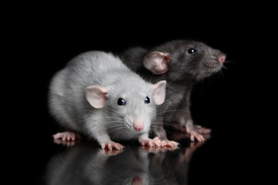 Sound-influences-the-way-mice-and-rats-sense-touch