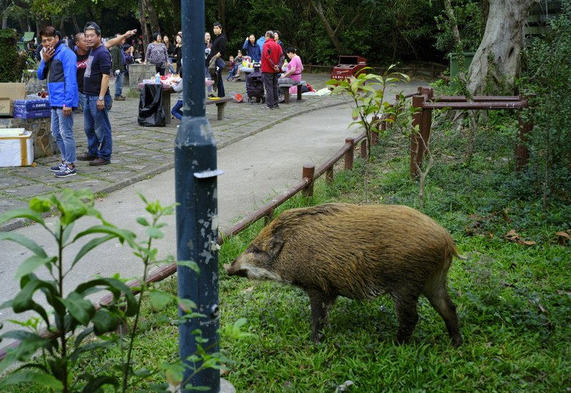 Year of the pig perfect for Hong Kong to review boar problem
