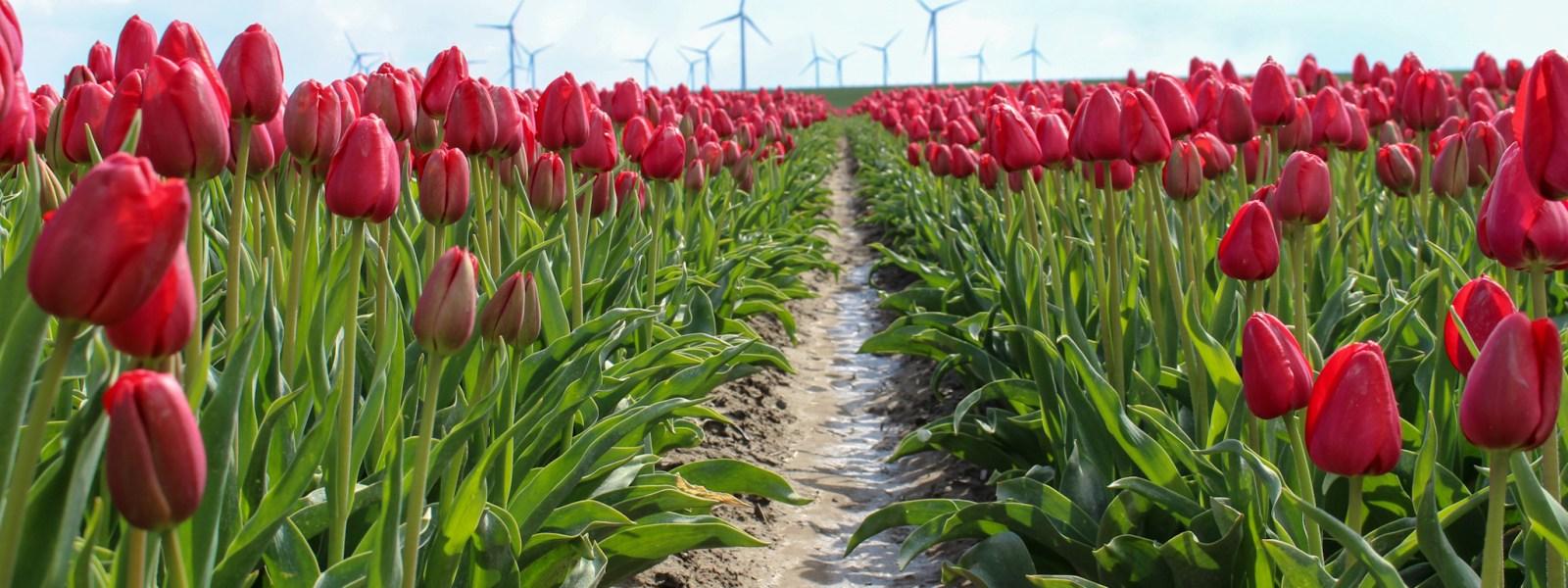 Kleurrijke roadtrip door Zuid-Holland: tulpenroute op Goeree Overflakkee