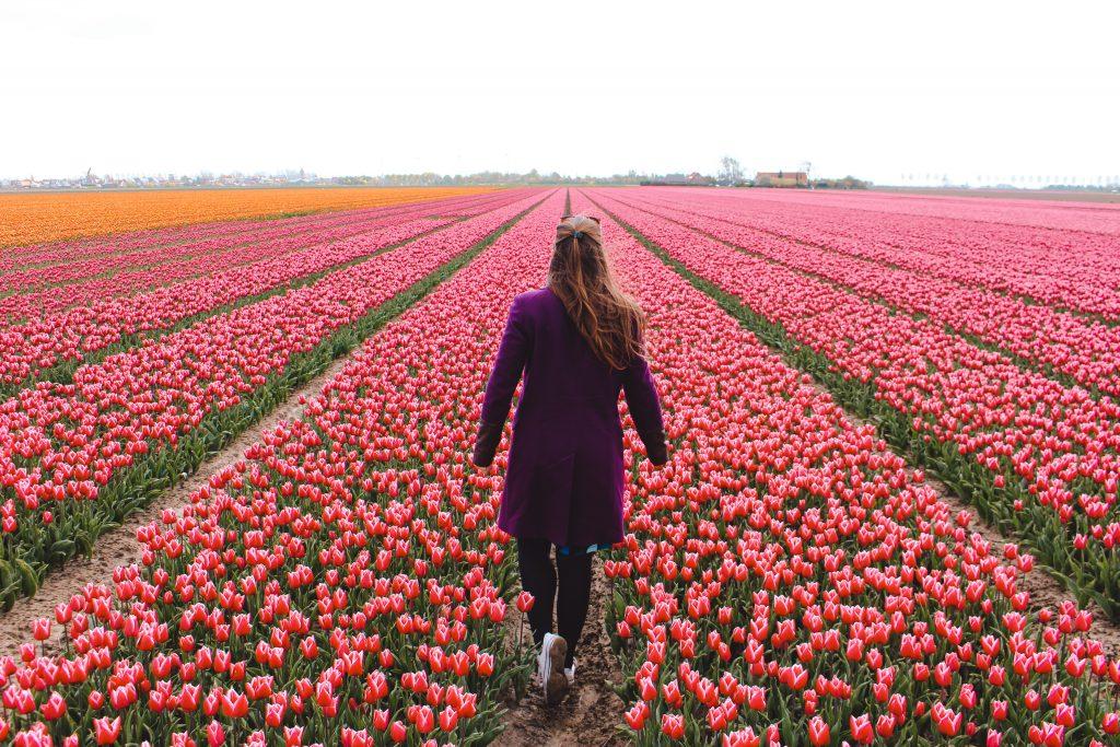 Eurovision Song Contest | Tulpenvelden Goeree-Overflakkee | Tulip fields | Songfestival in Rotterdam | The Orange Backpack