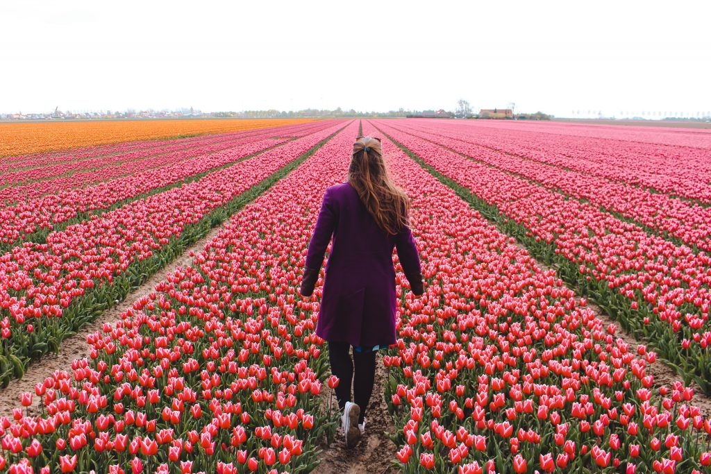 Eurovision Song Contest | Tulip fields Goeree-Overflakkee | Tulip fields | Song festival in Rotterdam | The Orange Backpack