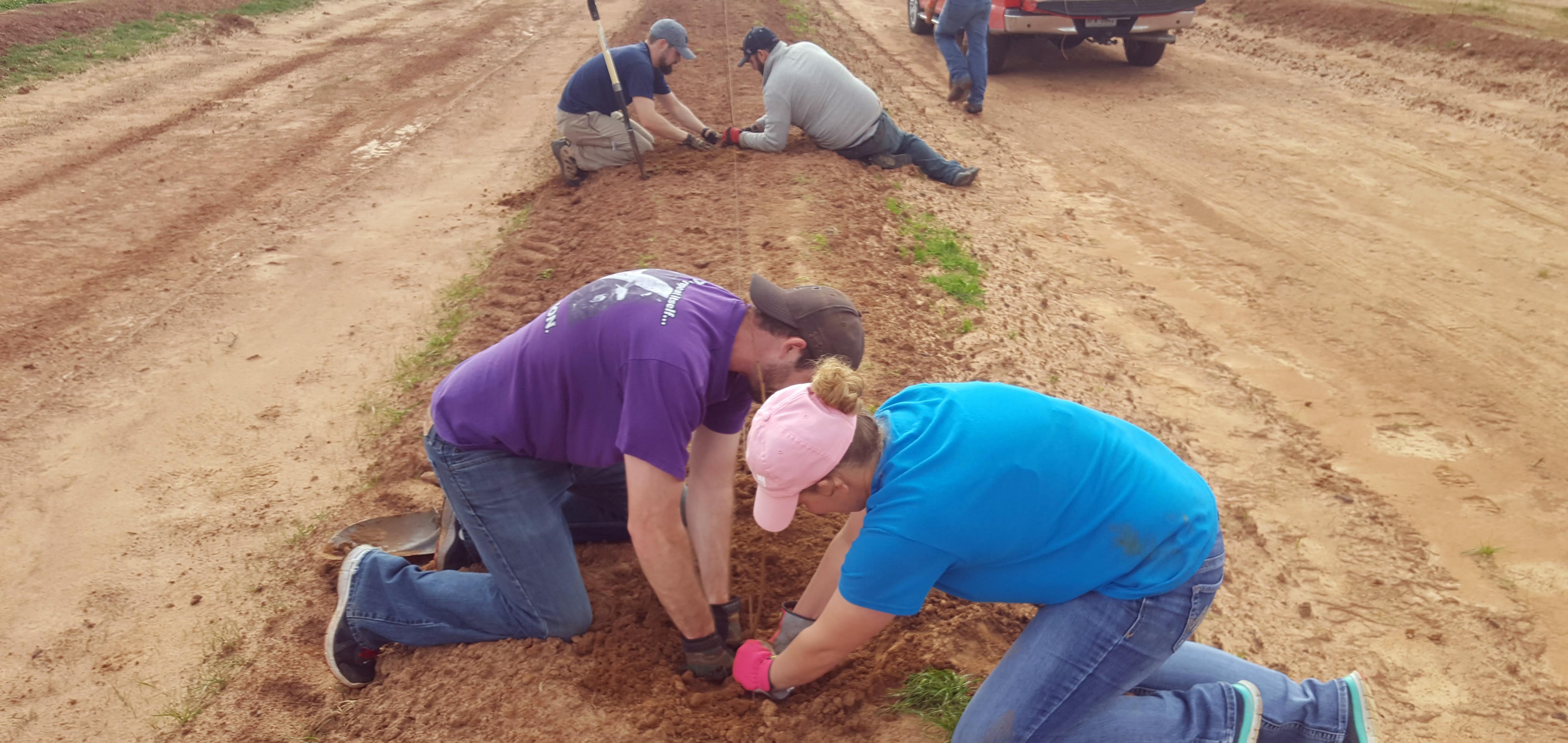 Planting 520 New Peach Trees