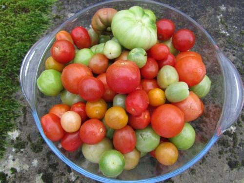 Last of the season's tomatoes