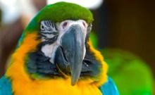 Parrot_Yoruba_ThrOrisha.com