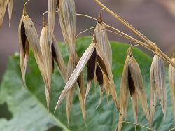 Black oats