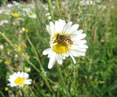 Tiger hoverfly (Helophilus pendulus)Silversands Aberdour 11 09 15 SBurgess