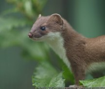 Stoat by Peter Trimming