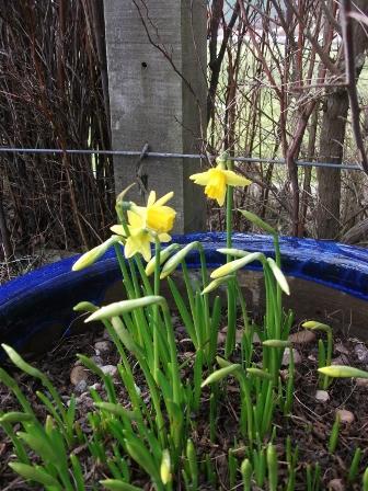 Daffodills B Bell