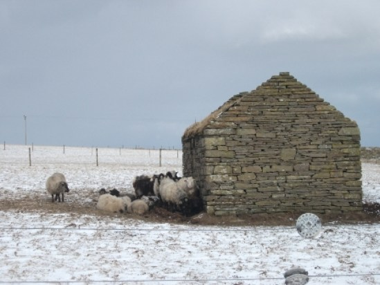 sheep sheltering B Bell