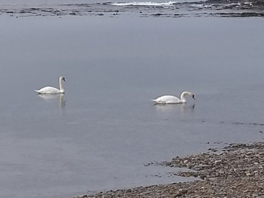 Kitchener Memorial swans