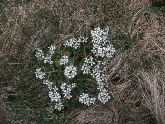 scurvy grass at Yesnaby B Bell