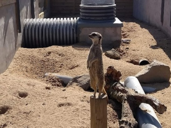 Fernvalley meerkat 2