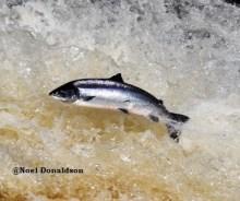 salmon leap 1