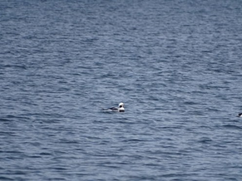 long tailed duck Bell