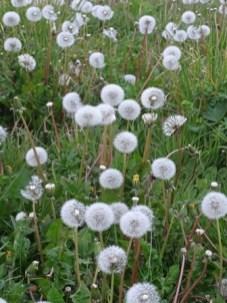 dandelions Credit Bell