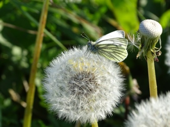 dandelion and moth Bell