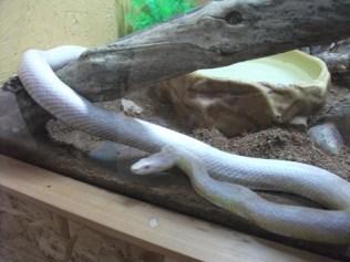 corn snake 1 Bell