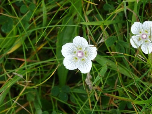 grass of parnassus Bell
