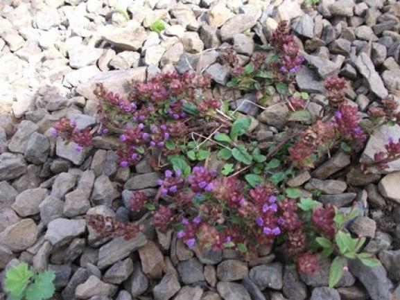 wild flowers in the gravel Bell