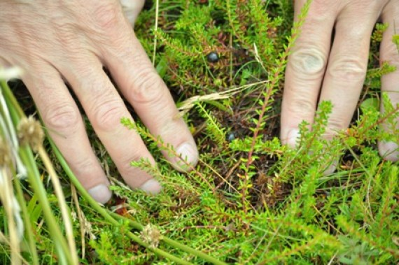 foraging edible plants and berries