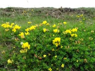 wild flowers Hoxa Head Bell