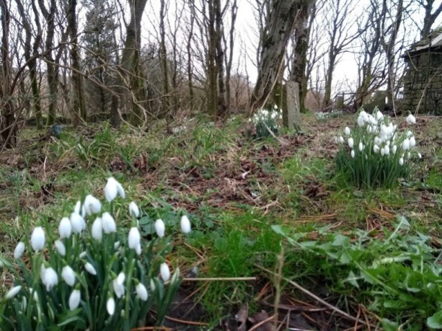 snowdrops at Happy Valley