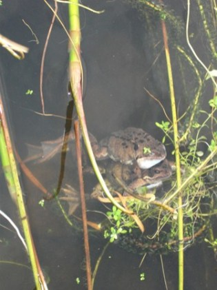 Frogs mating B Bell