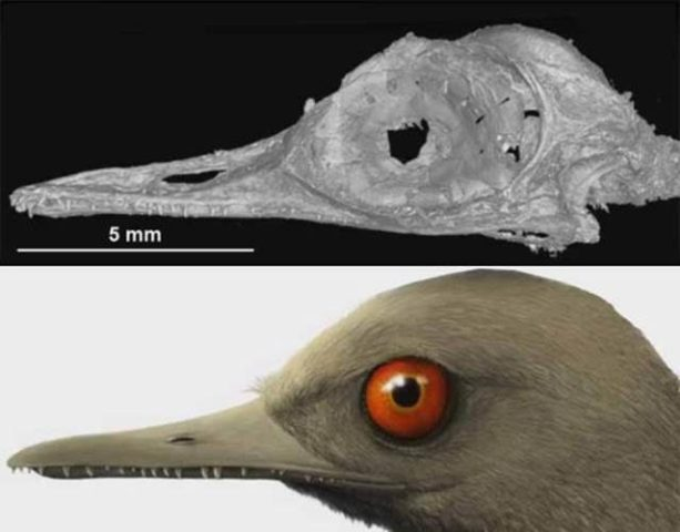 Micro-CT image of Oculudentavis khaungraaeI skull (top); artist's impression of it in life (bottom) (credits: Xing, L. et al. 2020; Jingmai O'Connor, China University of Geosciences)