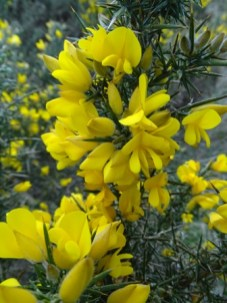 gorse in flower Bell