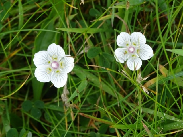 Grass of Parnassus credit Mike Bell