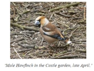 Hawfinch bird Stronsay 1