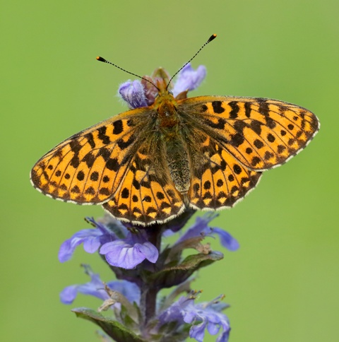 Pearl-bordered Fritillary credit Iain H Leach Butterfly Conservation