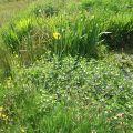 wild flowers by garden pond credit Bell