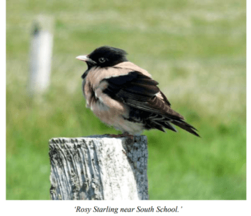 rosy starling Stronsay credit Ian Cooper